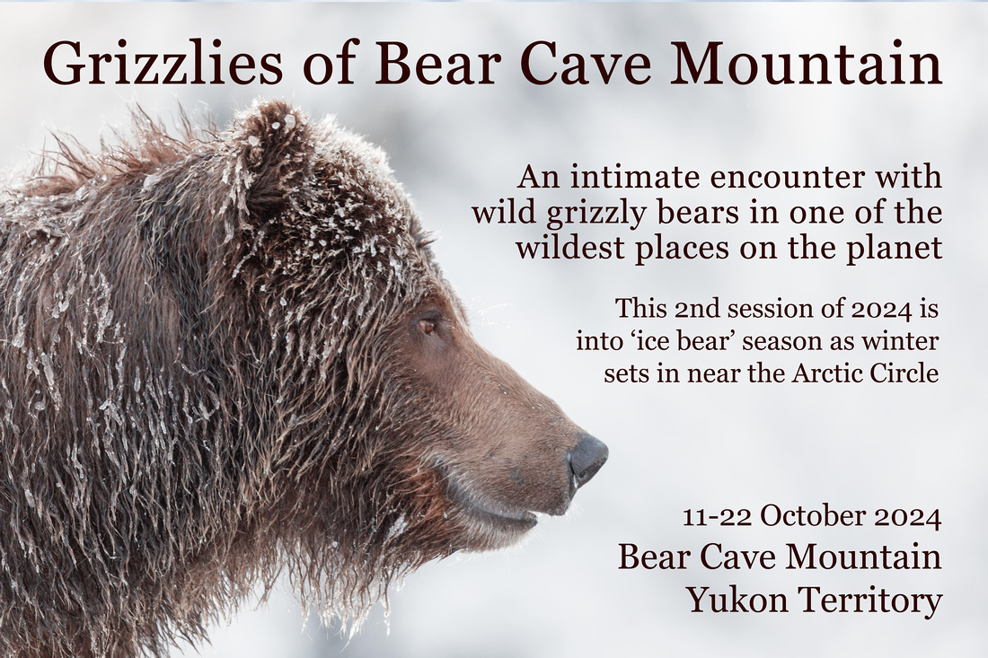 Grizzlies of Bear Cave Mountain - 2024 01