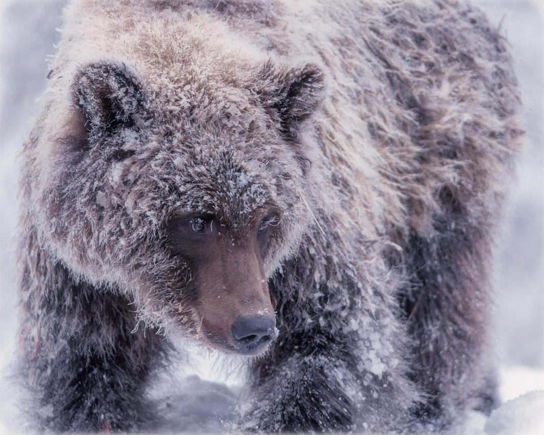 Grizzly winter portrait