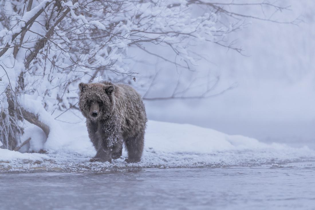 Ice mist grizzly bear