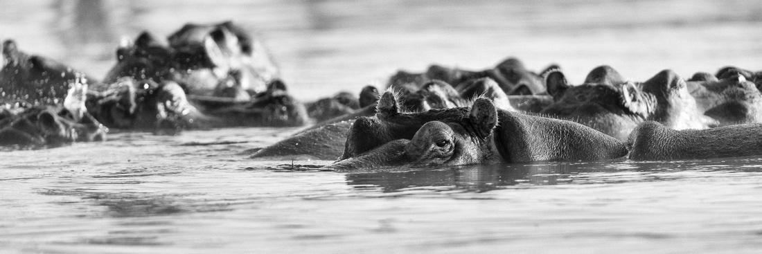 Hippos monochrome panorama