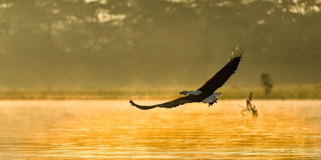 Eagle in dawn light