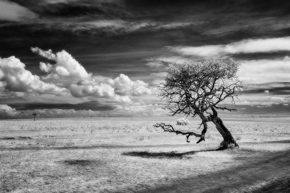 Twisted acacia tree in infrared