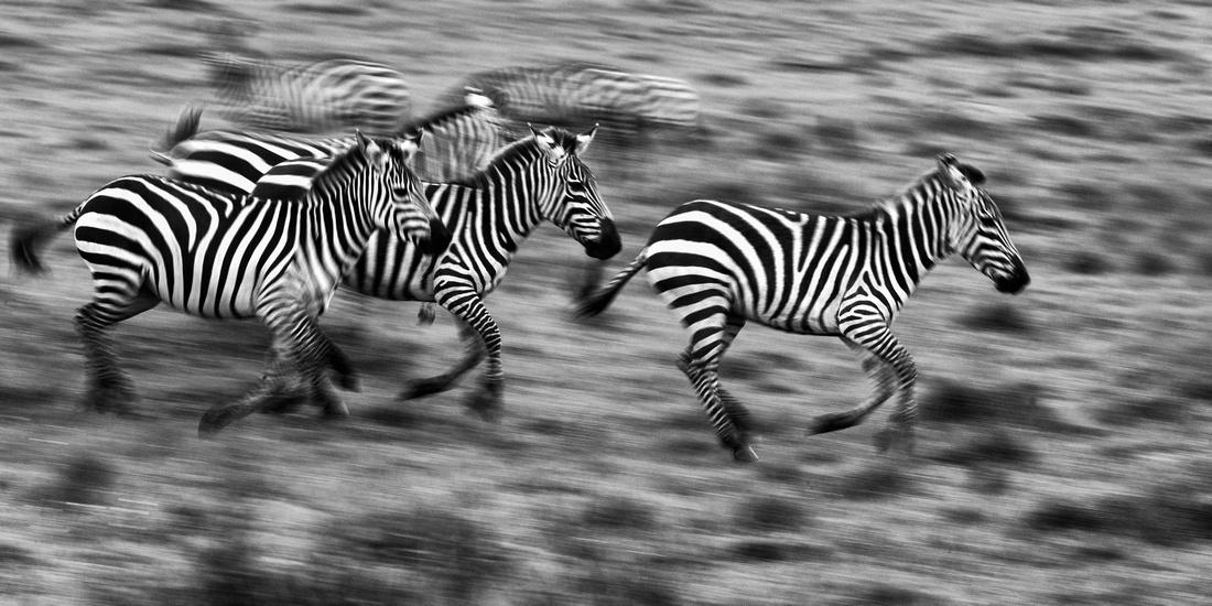 Dirty zebras